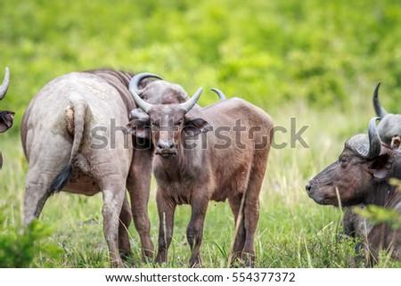 Young Cape buffalo starring at the camera. stock photo © simoneeman