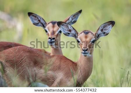 two baby impalas starring at the camera stock photo © simoneeman