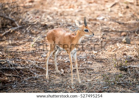 Starring Steenbok in the Kruger National Park, South Africa. Stock photo © simoneeman
