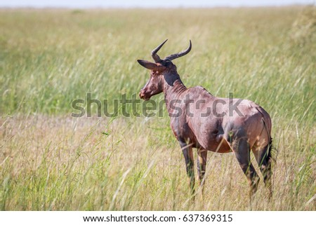 Tsessebe looking away in Chobe. Stock photo © simoneeman