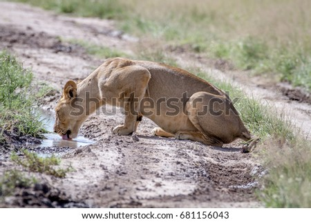 leão · potável · piscina · estrada · central · natureza - foto stock © simoneeman