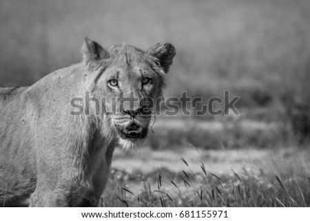 Young male Lion starring in the Kalahari. Stock photo © simoneeman