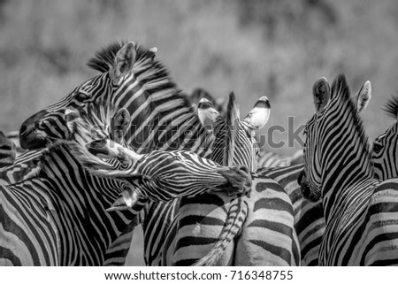 Group of Zebras bonding in Chobe. Stock photo © simoneeman
