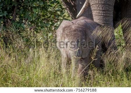 baba · elefánt · magas · fű · park · Botswana - stock fotó © simoneeman