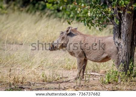 side profile of a warthog in hwange stock photo © simoneeman