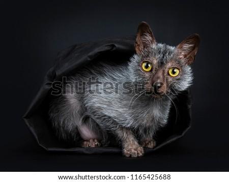 Cute · черный · котенка · мини · тыква · изолированный - Сток-фото © catchyimages