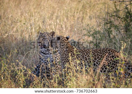 Mother Leopard and cub bonding in the grass. Stock photo © simoneeman