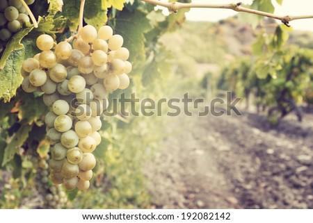 Szőlő szőlőskert vidéki kert étel természet Stock fotó © masay256