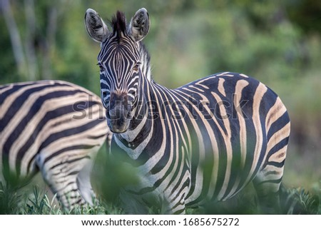starring zebras in black and white in the kruger national park south africa stock photo © simoneeman