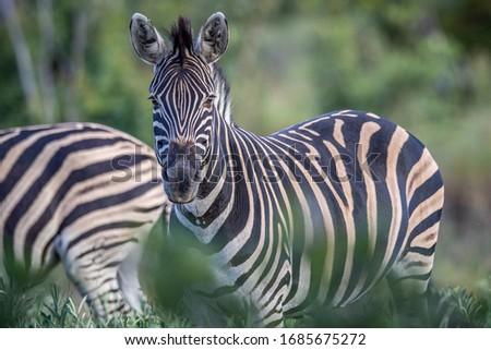 Zèbres blanc noir parc Afrique du Sud Photo stock © simoneeman