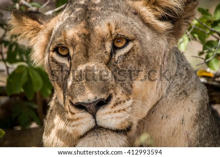Grumpy Lioness in the Kruger National Park. Stock photo © simoneeman