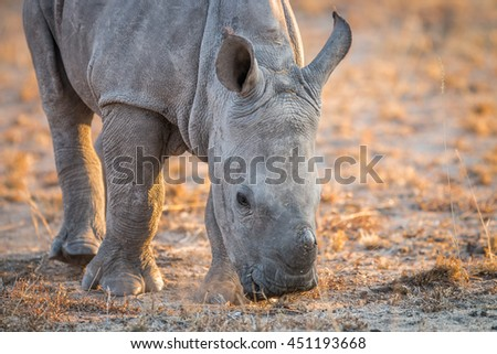 A baby White rhino sniffing the dirt. Stock photo © simoneeman