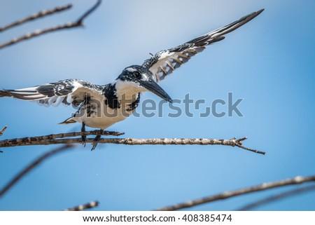 martim-pescador · voador · longe · parque · África · do · Sul - foto stock © simoneeman
