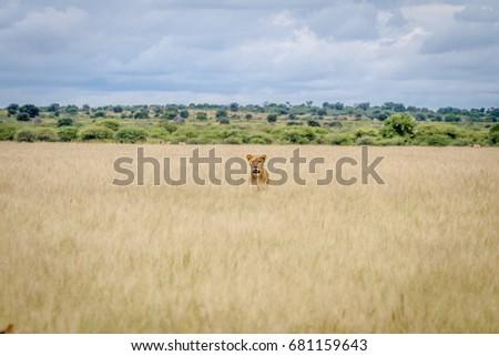 Oroszlán fej ki magas fű központi Stock fotó © simoneeman