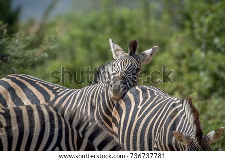 Zebras bonding in Marakele. Stock photo © simoneeman