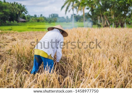 Indonesian farmer man sifting rice in the fields of Ubud, Bali. A common practice done in rural Chin Stock photo © galitskaya