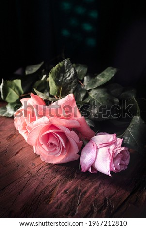 Black blooming garden rose flower at sunset, floral beauty backg Stock photo © Anneleven