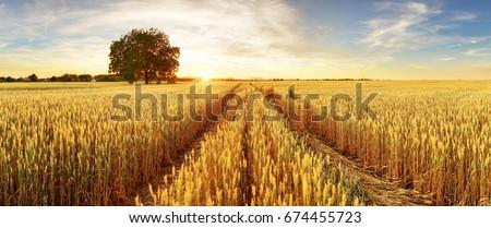Búzamező naplemente hegyek égbolt tájkép háttér Stock fotó © olira