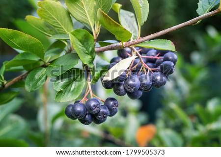 black chokeberry aronia melanocarpa berries with leafs on wood stock photo © inxti