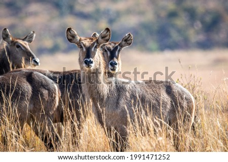 waterbuck starring in the kruger national park south africa stock photo © simoneeman