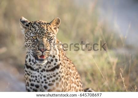 leopardo · parque · África · do · Sul · animais - foto stock © simoneeman