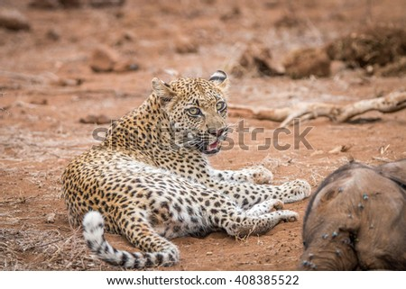 leopard laying next to a baby elephant carcass in the kruger national park stock photo © simoneeman