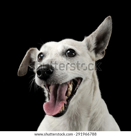mixed breed funny ears dog portrait in a dark photo studio stock photo © vauvau