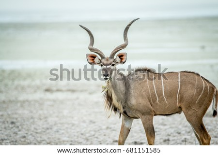 Kudu starring at the camera. Stock photo © simoneeman
