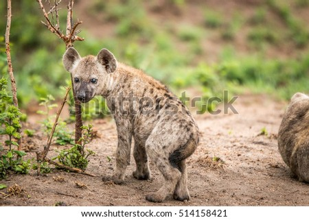 Baby Spotted hyena starring at the camera. Stock photo © simoneeman