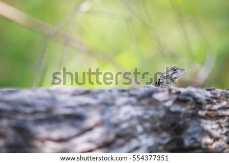 Southern tree agama peeking from over a branch. Stock photo © simoneeman