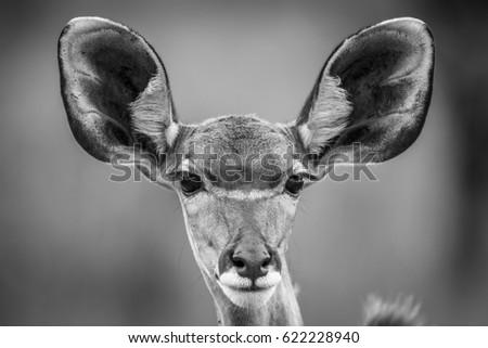 Starring female Kudu in black and white. Stock photo © simoneeman