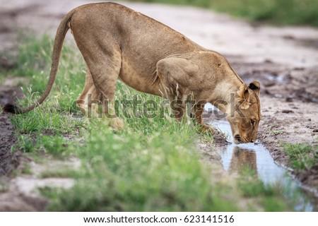 Leão potável estrada de terra central natureza animal Foto stock © simoneeman