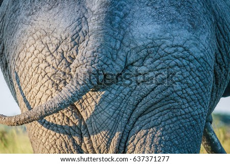 Close up of an Elephant bum in Chobe. Stock photo © simoneeman