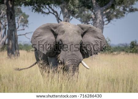 elephant standing in high grass in chobe stock photo © simoneeman