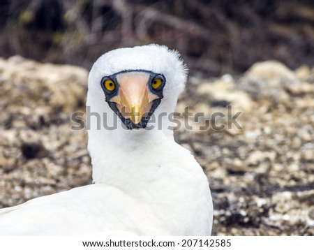 Close up of  masked Boobie at Galapagos island of North Seymour  Stock photo © meinzahn