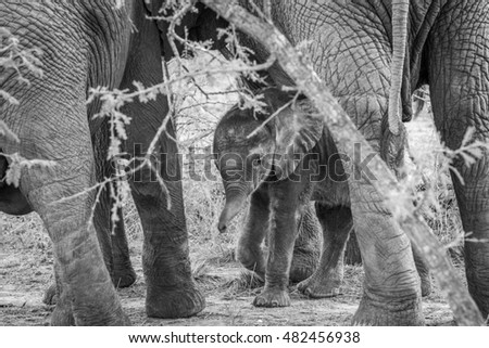 Black and white picture of a baby Elephant in between the legs of his mother. stock photo © simoneeman