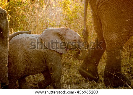 Baby Elephant following his mother in the sunlight. stock photo © simoneeman