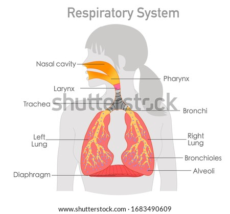 Alveoli anatomy, respiration Stock photo © Tefi