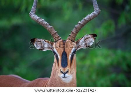 Male Black-faced impala starring at the camera. stock photo © simoneeman