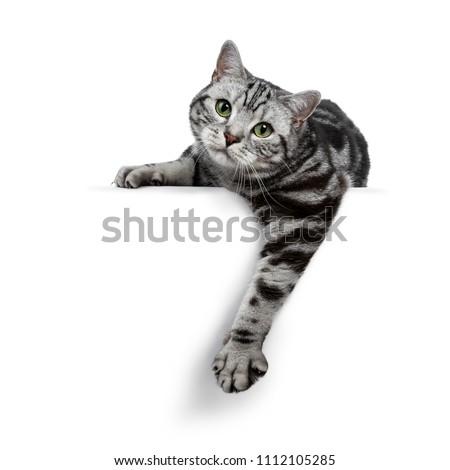 Handsome black silver tabby British Shorthair cat, on white background. Stock photo © CatchyImages