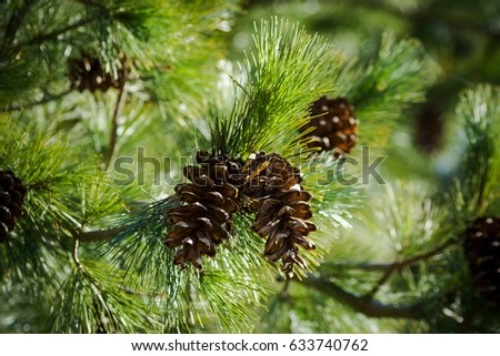 background of green fir branches with a bump in the center. horizontal Stock photo © ruslanshramko