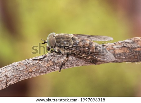 Horse fly with black background and huge compound eyes Stock photo © gewoldi
