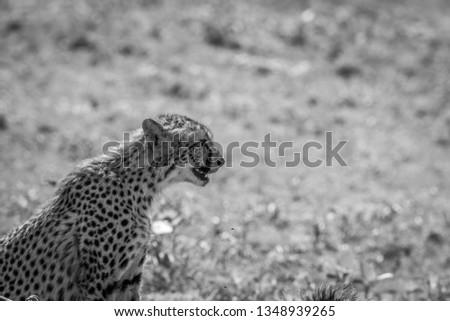 Yan profil çita siyah beyaz park Güney Afrika Stok fotoğraf © simoneeman