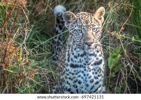 Starring Leopard in the Sabi Sands. Stock photo © simoneeman