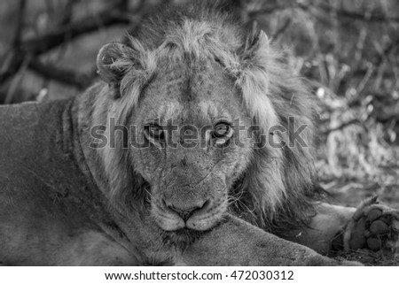 Starring Lion in black and white in the Kruger National Park. Stock photo © simoneeman