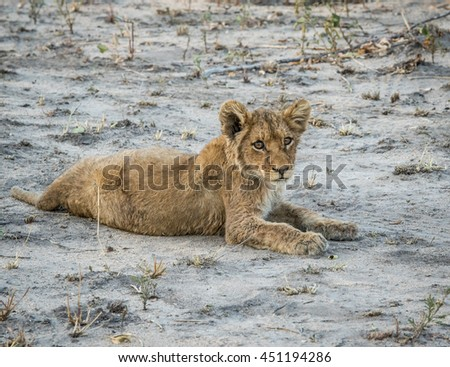 Lion cub laying in the dirt in the Sabi Sabi game reserve. Stock photo © simoneeman