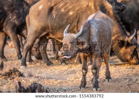 Kamera park Dél-Afrika tehén állatok bika Stock fotó © simoneeman