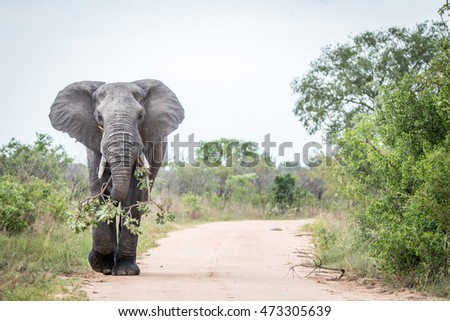 A big bull Elephant dragging a branch on the road in Kruger. stock photo © simoneeman