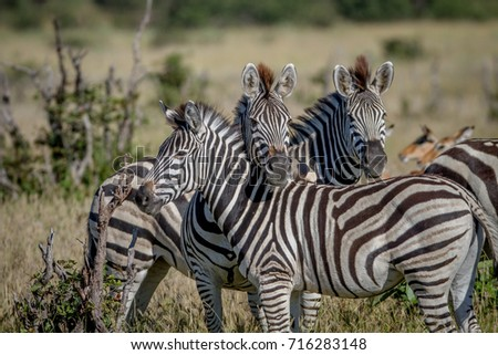 two zebras starring at the camera stock photo © simoneeman