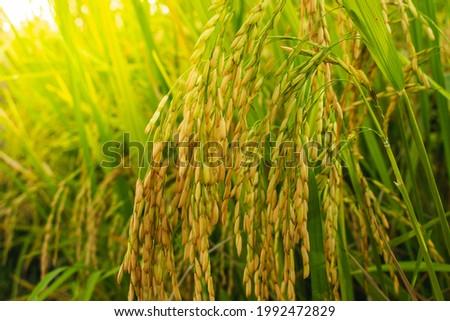 Maduro orelhas arrozal luz solar bandeira longo Foto stock © galitskaya